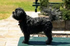 affenpinscher dogs for sale affenpinscher burke u0027s backyard