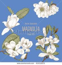 magnolia flowers magnolia flowers vector illustration vintage style stock vector