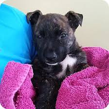 afghan hound adoption florida gracie adopted puppy jacksonville fl black mouth cur plott