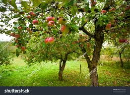 Apple Orchard Collection Home Interiors Trees Red Apples Orchard Stock Photo 66116539 Shutterstock