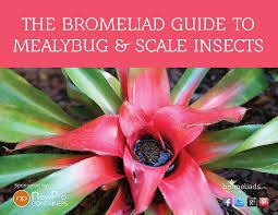 the bromeliad guide to mealybug u0026 scale insects bromeliads info