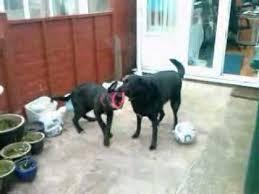 belgian shepherd x labrador belgian shepherd dog u0026 labrador collie cross buddy u0026 missy playing