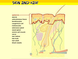 Parts Of A Tissue Skin Hair And Nails