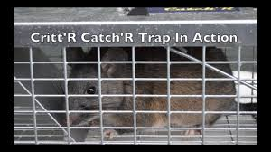 the critt u0027r catch u0027r live catch trap in action huge wood rat with