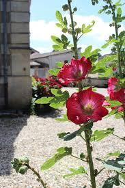 chambre d hote du jardin montendre les roses trémières du jardin picture of chambres d hotes du