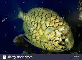 japanese pinecone fish monocentris japonicus aquarium france stock