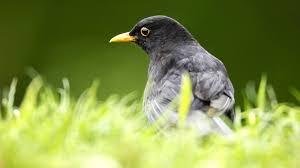 bbc radio 4 tweet of the day blackbird