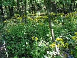 native plants illinois ecological gardening butterweed butterwhat