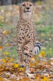 236 best wild cats images on pinterest wild animals animals and