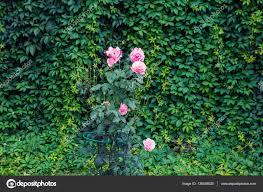Decorative Shrubs Garden Texture Roses On A Green Background Growing Shrubs