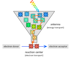 is light a form of energy function of the lhc antenna pigments bound and coordinated by the
