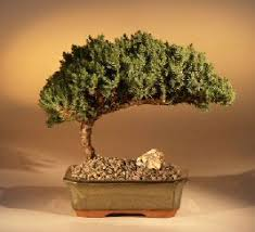 buy a bonsai in our store grow a bonsai