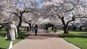 Uw Seattle Campus Map by 2016 Uw Cherry Blossom Watch 100 Percent In Bloom Uw News