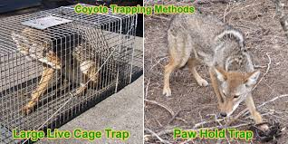 Coyote In My Backyard How To Get Rid Of Coyotes In Your Yard Or Chicken Coop