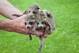 baby raccoons in hands near madoc ontario canada stock photo