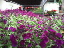 native san francisco plants garden center san francisco ca house plants u0026 christmas trees