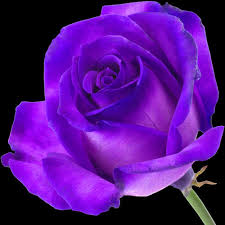 purple roses purple roses buy purple roses order purple roses post purple