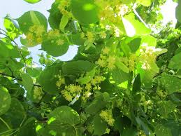 linden flower foraging for medicine part one lime linden blossom tilia