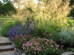 elaeagnus u0027quicksilver u0027 trees pinterest plants and gardens
