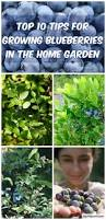 top 10 tips for growing blueberries in the home garden blueberry