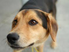 australian shepherd beagle mix beagle german shepard mix awwwwwww puppies