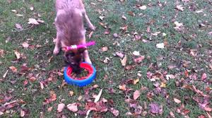 belgian malinois puppies 6 months how to play fetch with 6 month old belgian malinois puppy in
