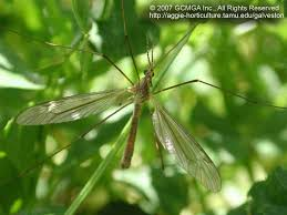 beneficial insects in the garden 29 crane flies tipula sp