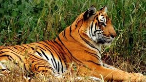 what are some interesting bengal tiger facts for kids reference com