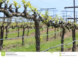grapevine in spring stock photo image of vinifera vitis 34615226