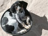 bluetick coonhound puppies illinois illinois bluetick coonhound rescue groups