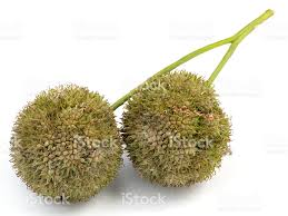 maple tree seeds stock photo 172897159 istock