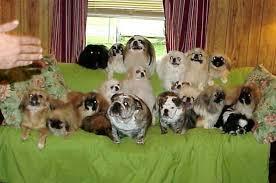affenpinscher puppies for sale in texas toy and sleeve pekingese pekingese puppies for sale pekingese