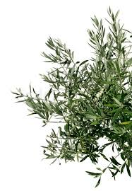 green olive tree branch isolated on white background stock