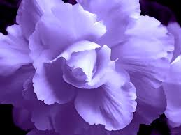 begonia flower purple begonia floral photograph by jennie schell