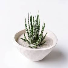 zebra plant handmade white ceramic planter large