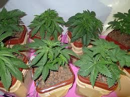 Led Grow Lights Cannabis Cob Led Grow Light Review Grow Guide Cob Grow Lights
