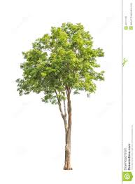 pterocarpus indicus tropical tree in thailand stock photo image