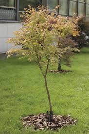japanese maple tree facts lifespan of japanese maple trees