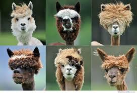 Llama Meme - llama haircuts weknowmemes