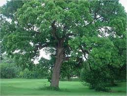 trees and shrubs milberger u0027s landscape u0026 nursery