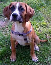 8 month old boxer dog weight bogle dog boxer beagle mix info temperament puppies pictures