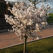 buy ornamental cherry prunus the