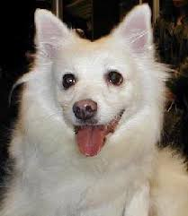how big is american eskimo dog where can i get an american eskimo dog
