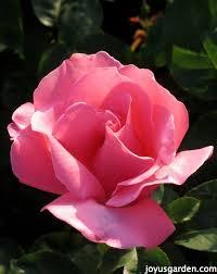 how to feed roses organically u0026 naturally hometalk