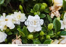 Gardenia Flower Gardenia Stock Images Royalty Free Images U0026 Vectors Shutterstock