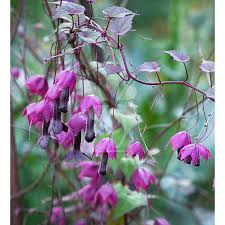 transform a wall or pergola with climber plants sarah raven