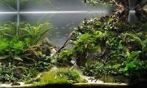 Aquascape Com Bucephalandra Blog U2014 Bucephalandra Aquascape Tank Aquascapes
