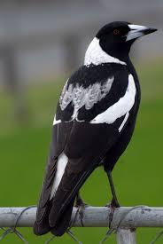 128 best magpies images on pinterest magpie australian birds