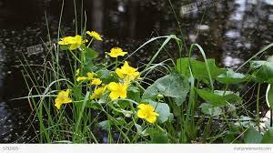 buttercups riverside wallpapers kingcup flowers on riverside stock video footage 5732935