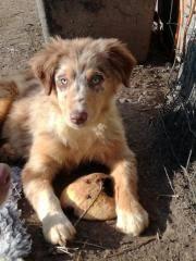 australian shepherd welpen 6 monate australian shepherd in lamprechtshausen hunde kaufen